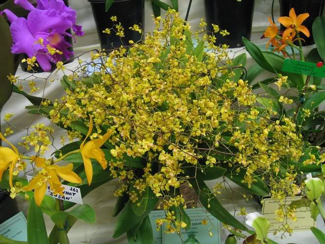 grandiphyllum-pulvinatum-4