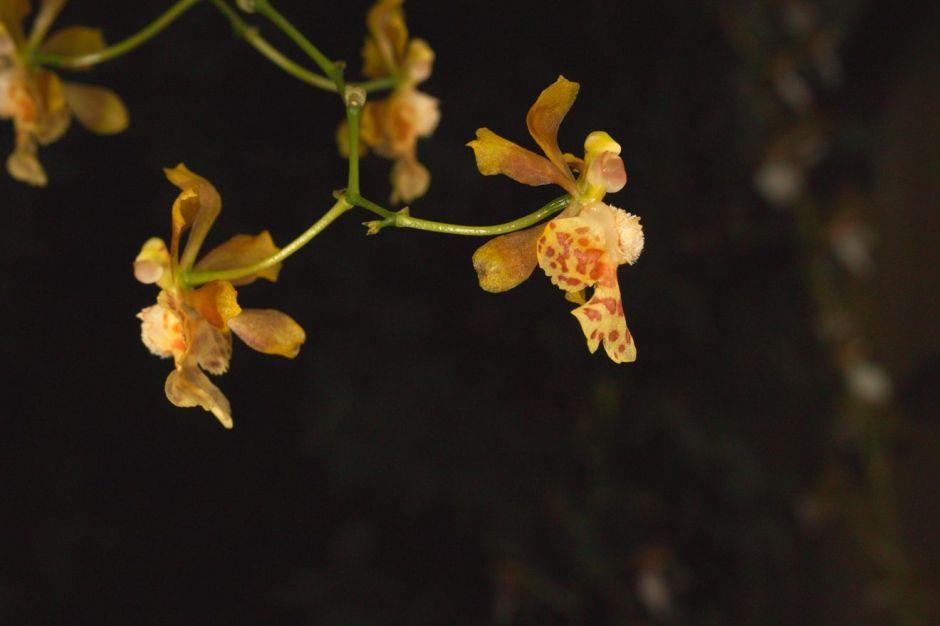 grandiphyllum-pulvinatum-7
