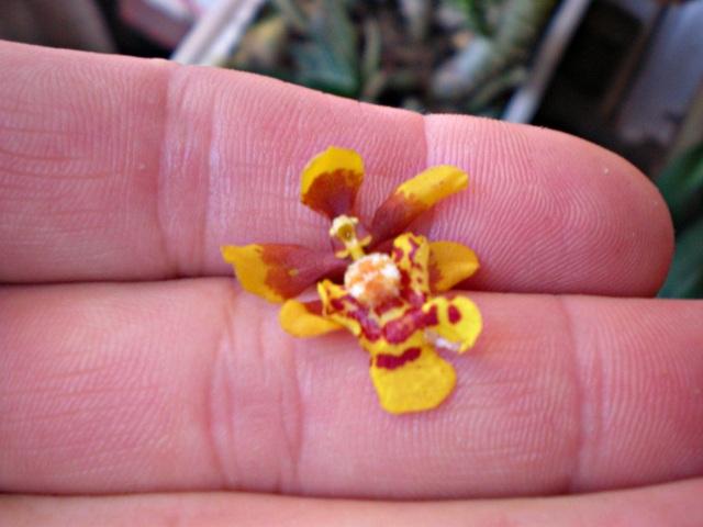 grandiphyllum-pulvinatum-8