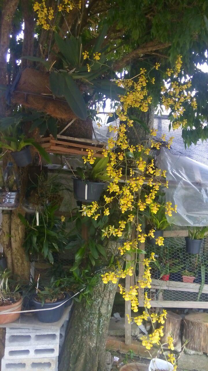 grandiphyllum-pulvinatum