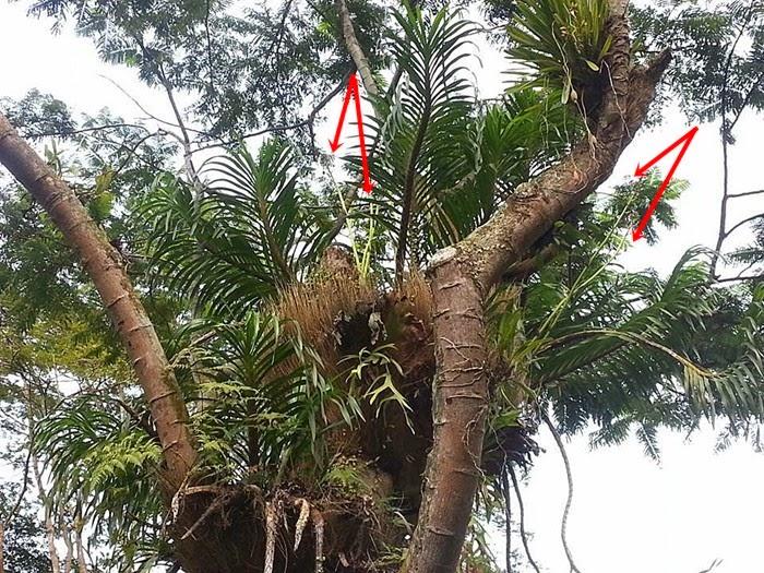Resultado de imagem para Grammatophyllum speciosum