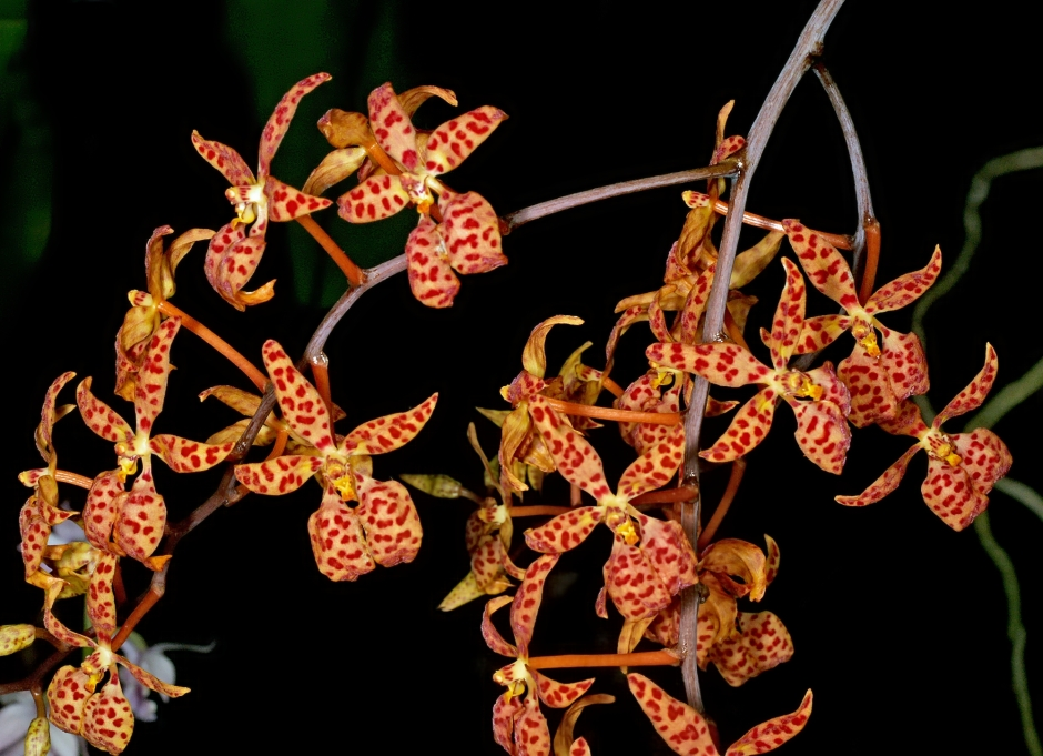 renanthera-monachica-10