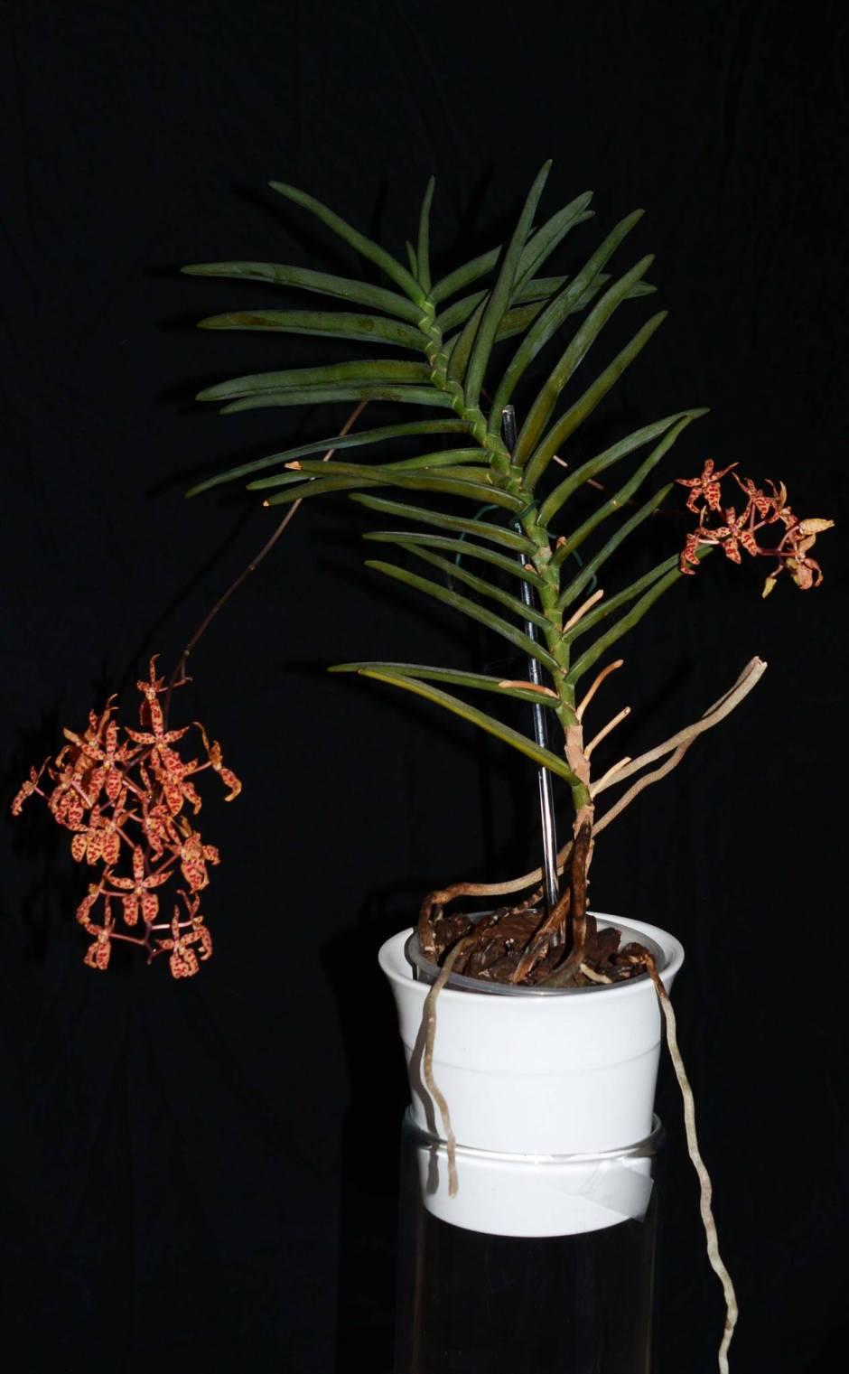 renanthera-monachica-12