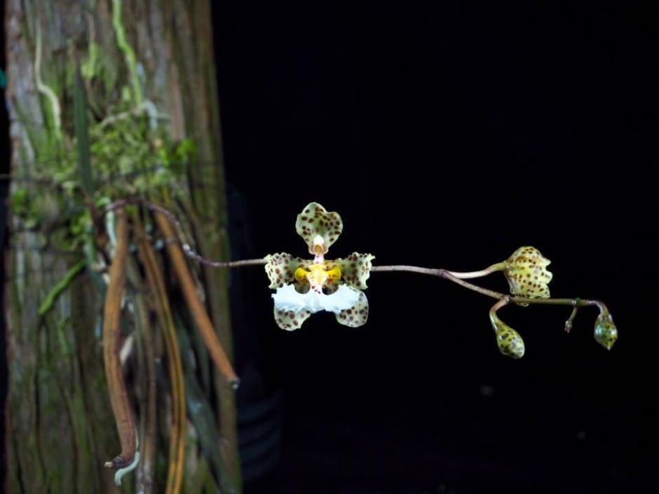 trichocentrum-jonesianum-11