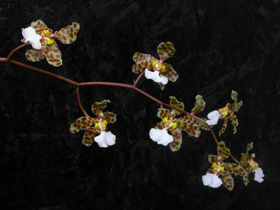 trichocentrum-jonesianum-7