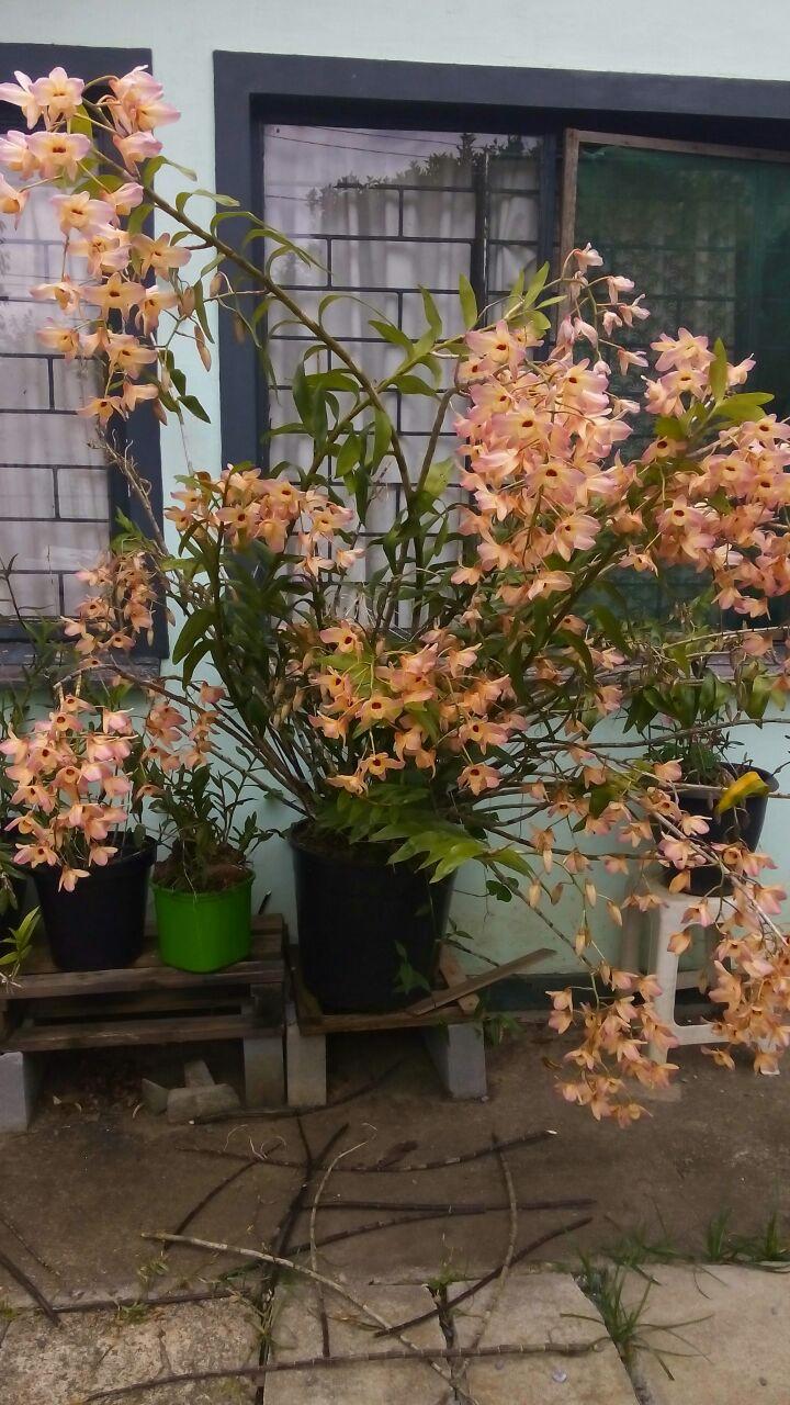 Dendrobium moschatum - clorinda