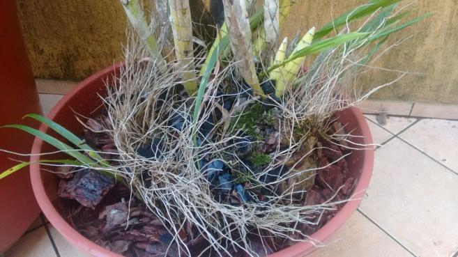 Cyrtopodium saintlegerianum 1