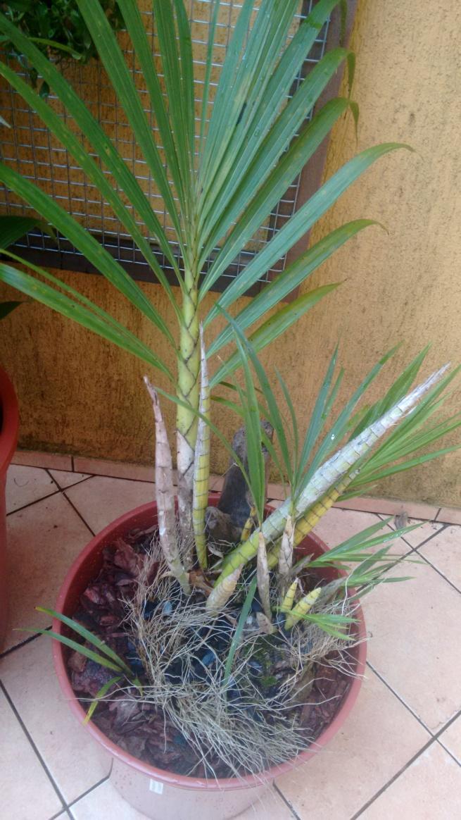 Cyrtopodium saintlegerianum 2
