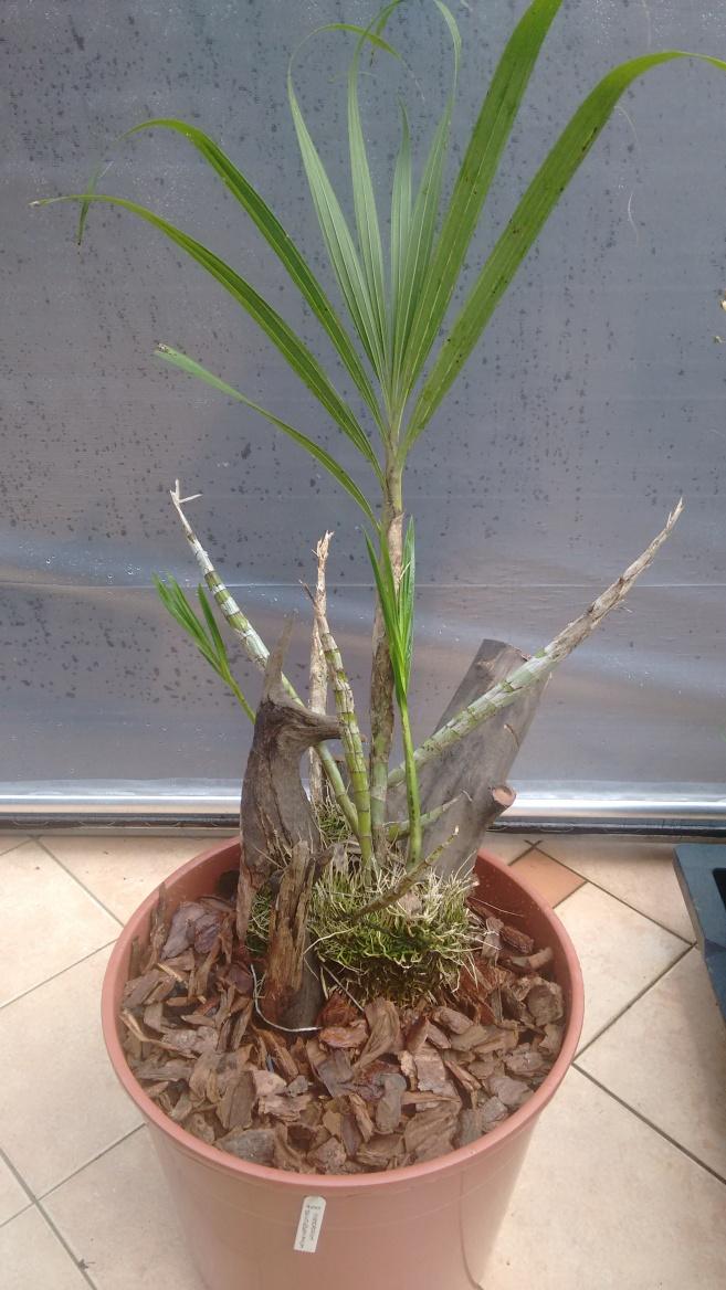 Cyrtopodium saintlegerianum 3