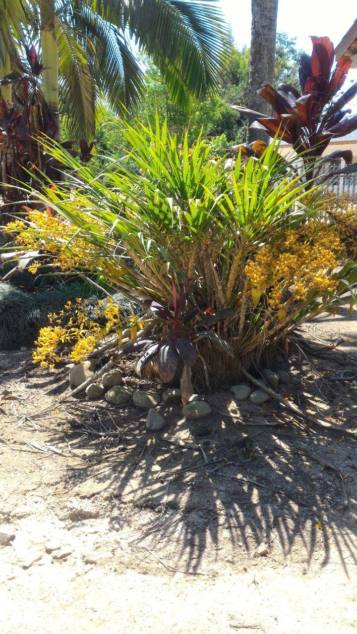 Cyrtopodium saintlegerianum - Adir Blanc - 1 - 12 hastes