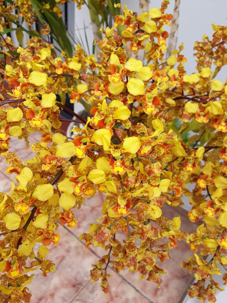 Cyrtopodium saintlegerianum - Juraci J Muraro Durigan - 2