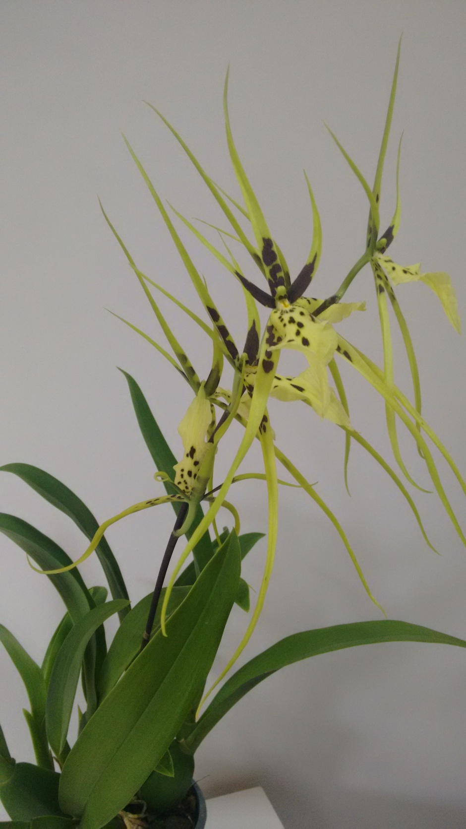 Brassia Eternal Wind 1