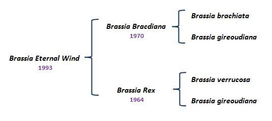 Brassia Eternal Wind genealogy desenho (1)