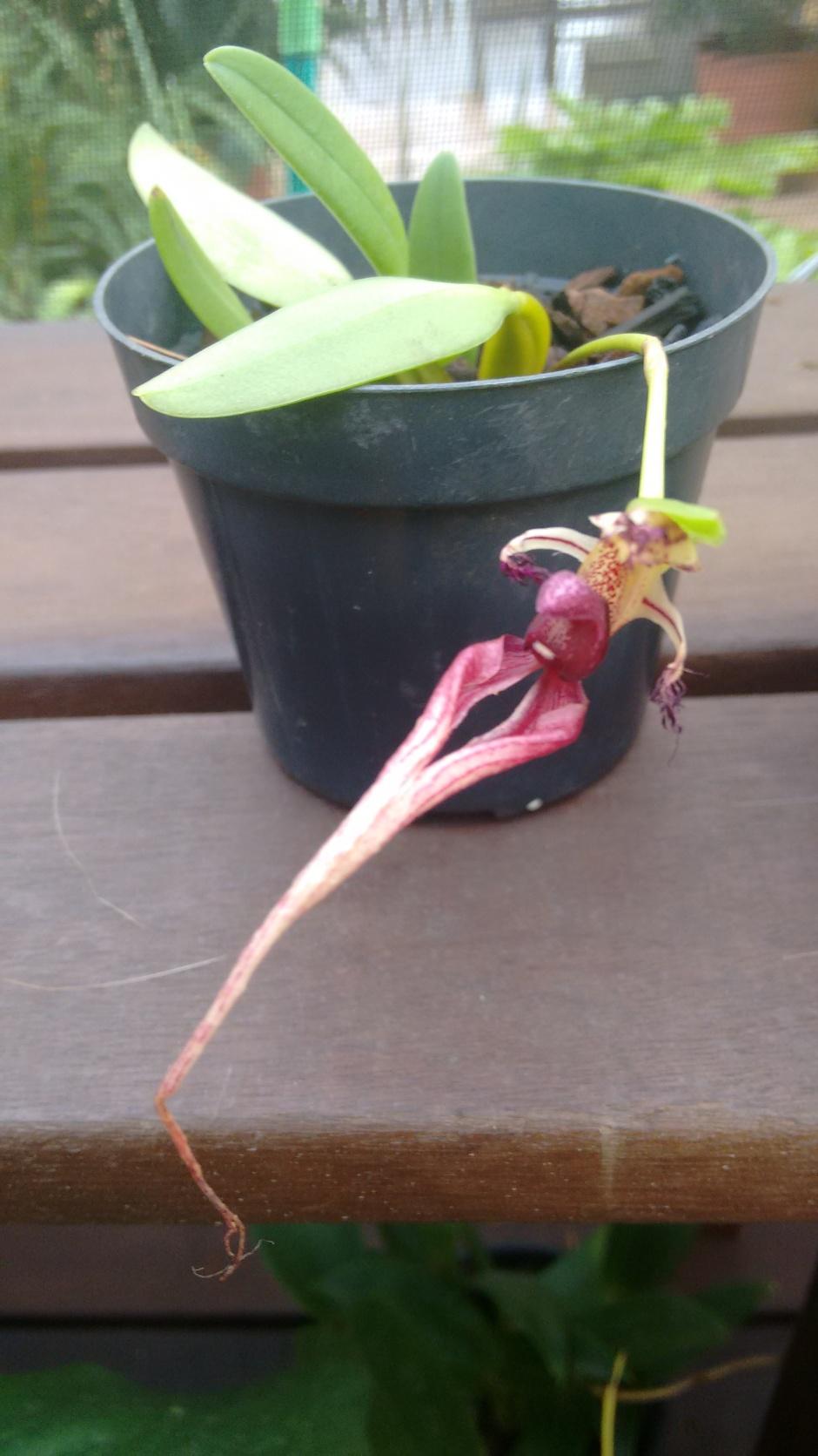 Bulbophyllum putidum - abril 1