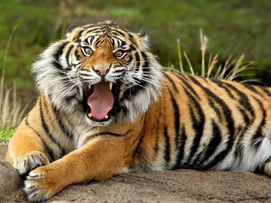 Resultado de imagem para tigre