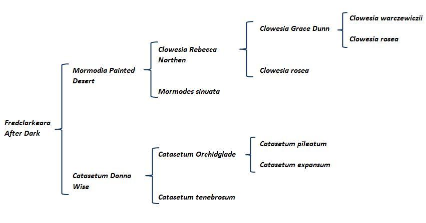 Clowesia rosea - genealogia JPG