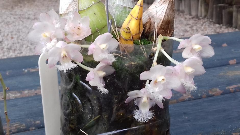 Clowesia rosea - Milton Carlos Escobar - ago2018 - 6