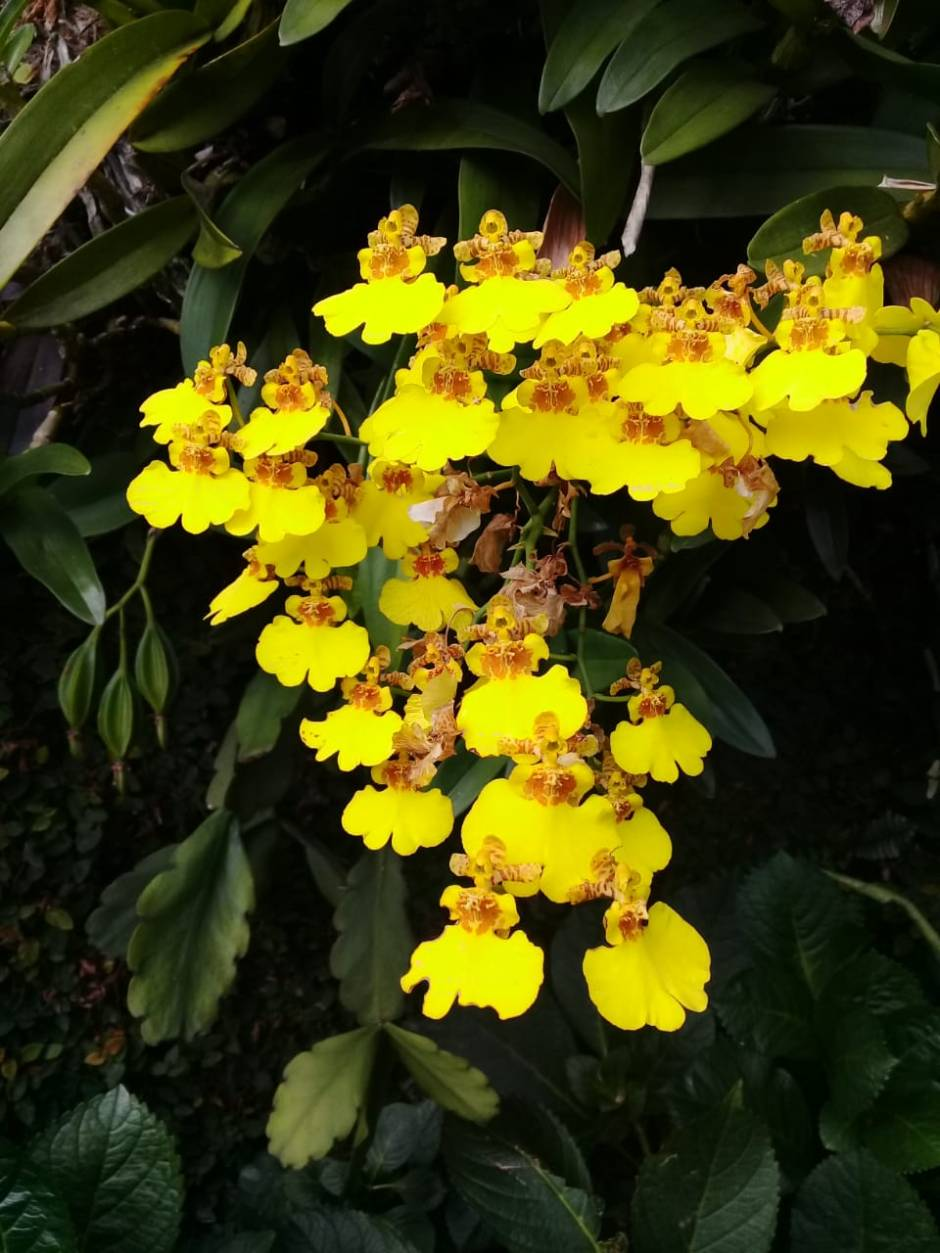 Ampliglossum flexuosum - Cristiano nogueira set2018