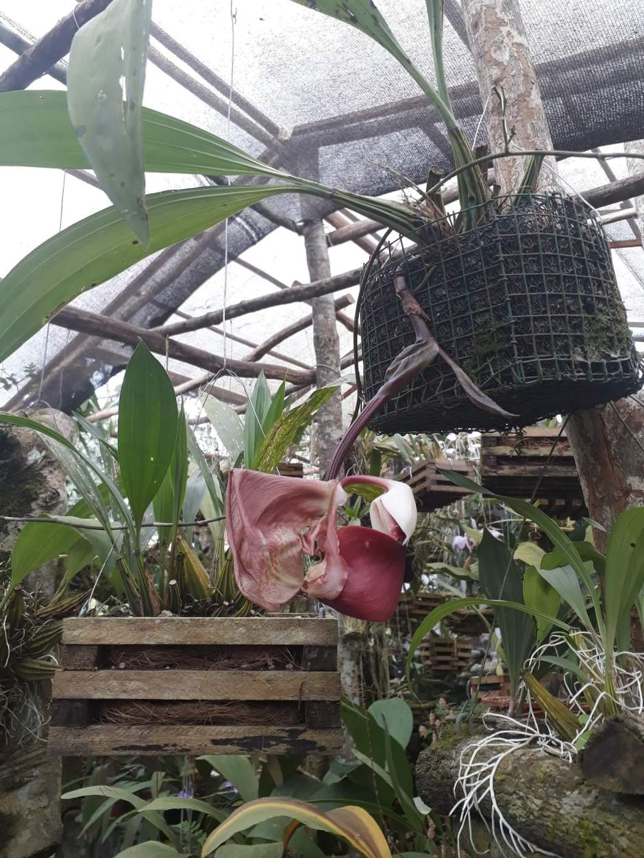 Coryanthes leucocorys - Orquideas San Miguel - Equador - set2018 2