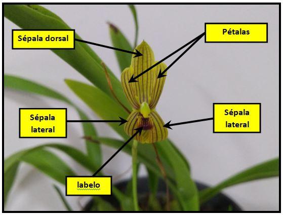 Mormolyca ringens - flor JPG