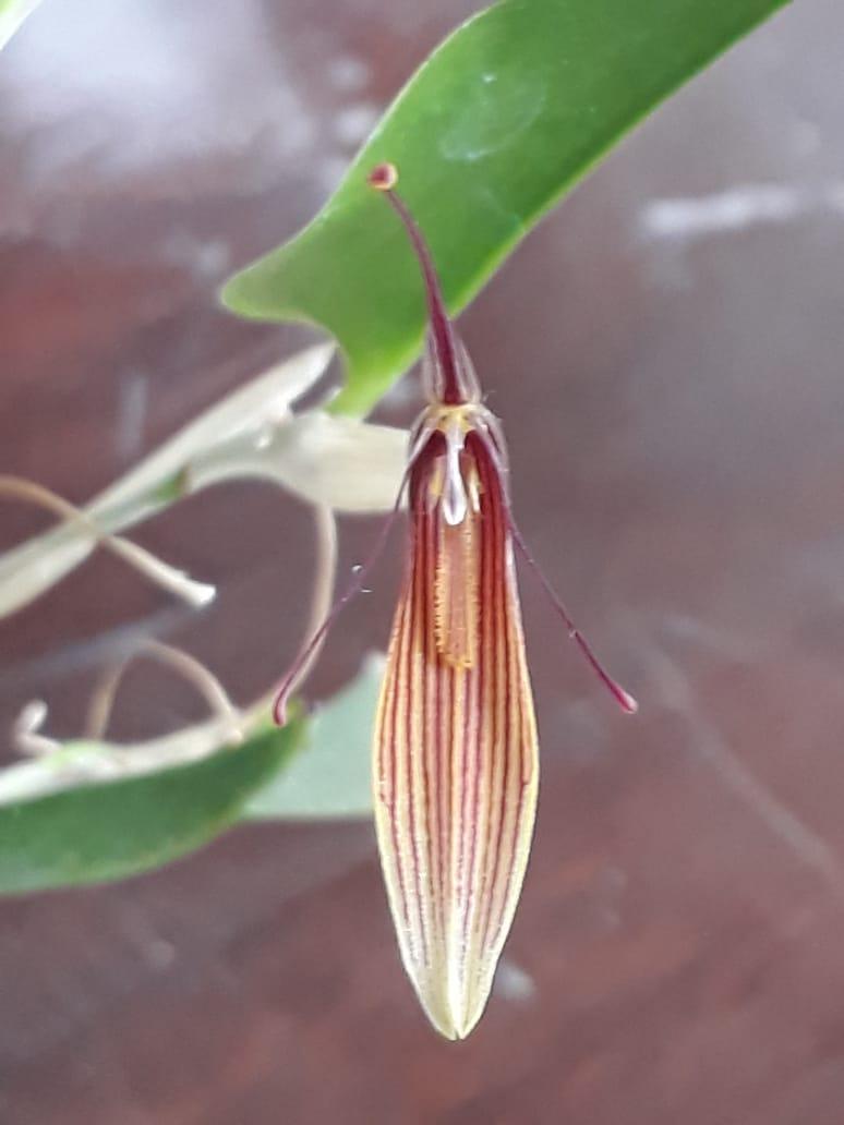 Restrepia brachipus - Clorinda - jan2019 (3)