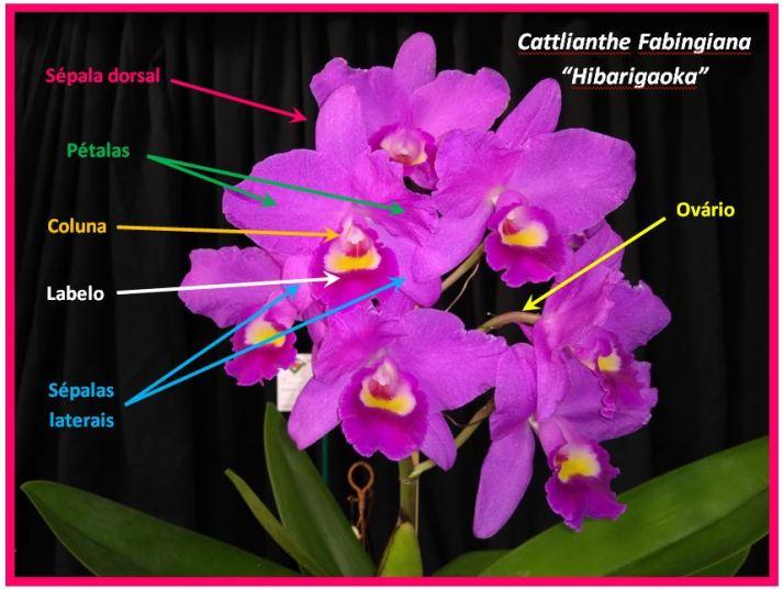 Cattlianthe Fabingiana - flor JPG