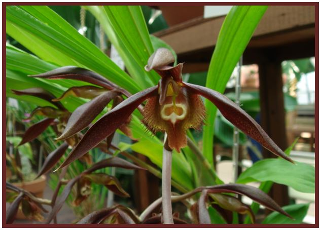Catasetum saccatum - Catasetum incurvum JPG