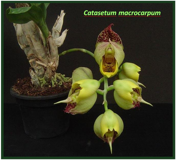 Catasetum saccatum - Catasetum macrocarpum JPG