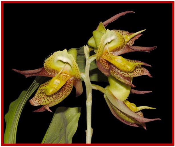 Catasetum saccatum - Catasetum x macedoi JPG