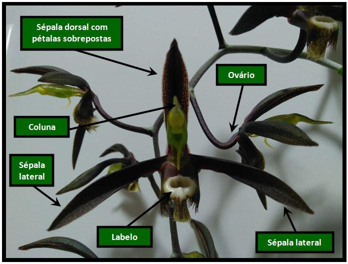 Catasetum saccatum - flor JPG