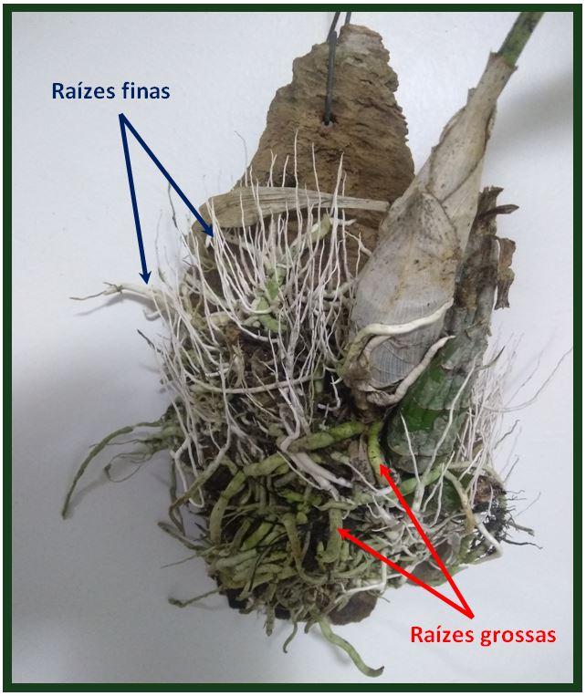 Catasetum saccatum - raizes JPG