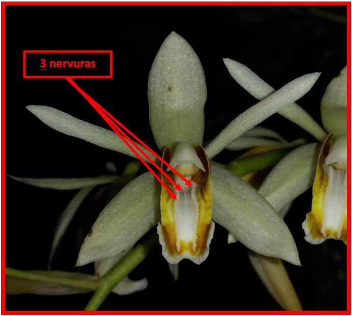 Coelogyne trinervis - nervuras flor JPG