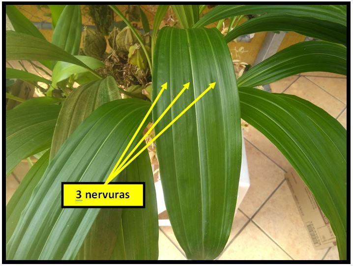 Coelogyne trinervis - nervuras folha JPG