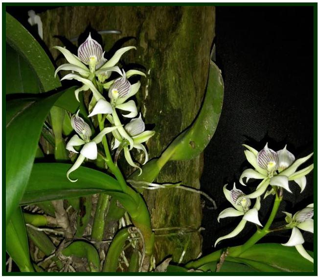 Encyclia patens - Anacheilium fragrans JPG
