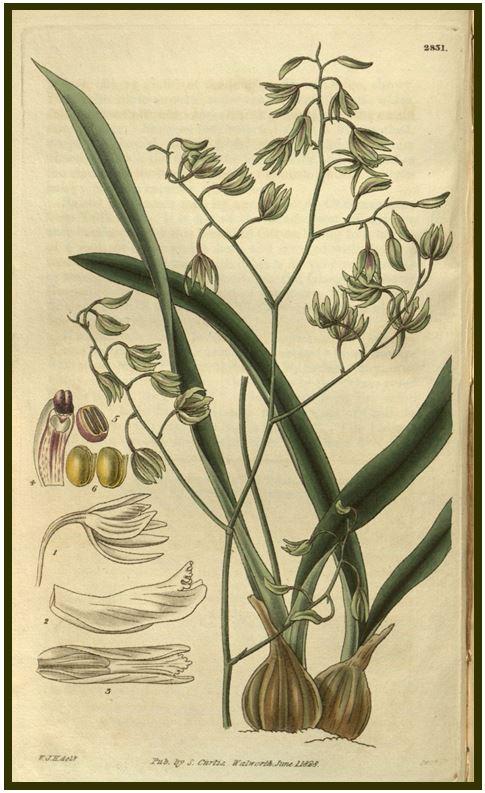 Encyclia patens - encyclia viridiflora JPG