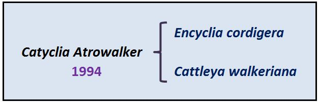 Encyclia patens - hibrido Catyclia JPG