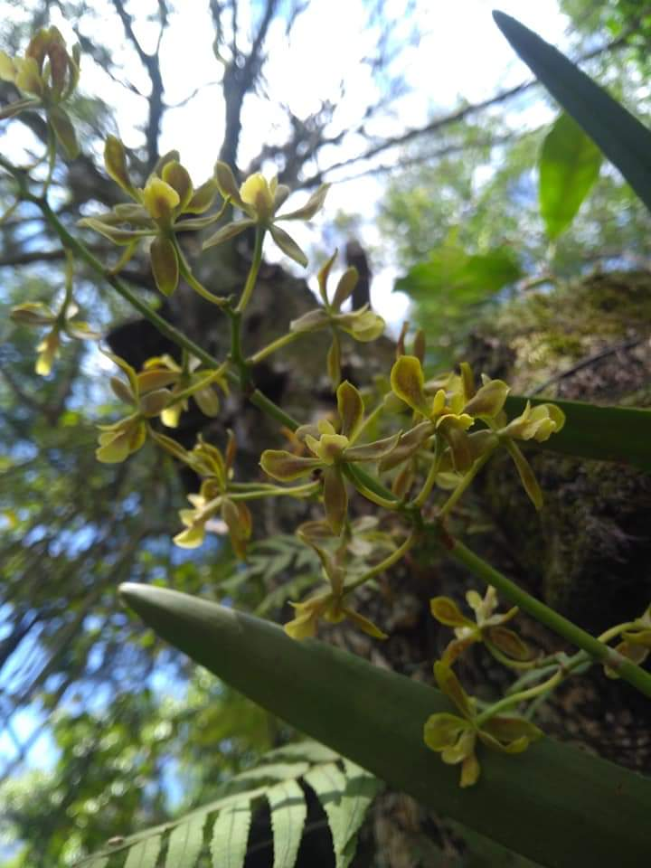 Encyclia patens - Marli Salomão - jun2019 (2)