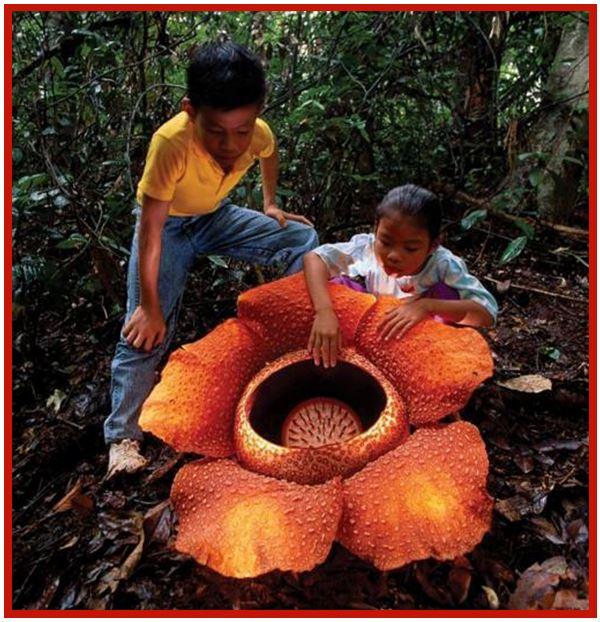 Chelonistele sulphurea - Rafflesia arnoldii JPG