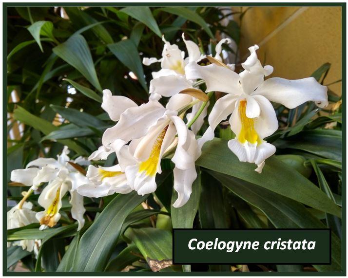 Coelogyne graminifolia - coelogyne cristata JPG