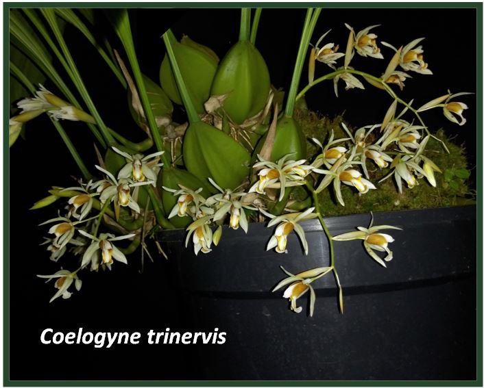 Coelogyne graminifolia - coelogyne trinervis JPG