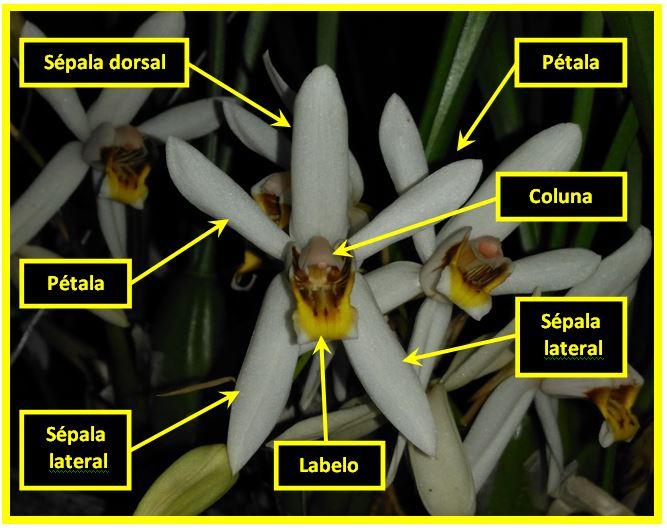 Coelogyne graminifolia - flor JPG