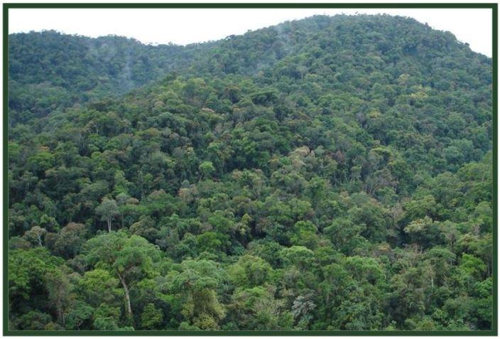 Coelogyne graminifolia - floresta primária JPG