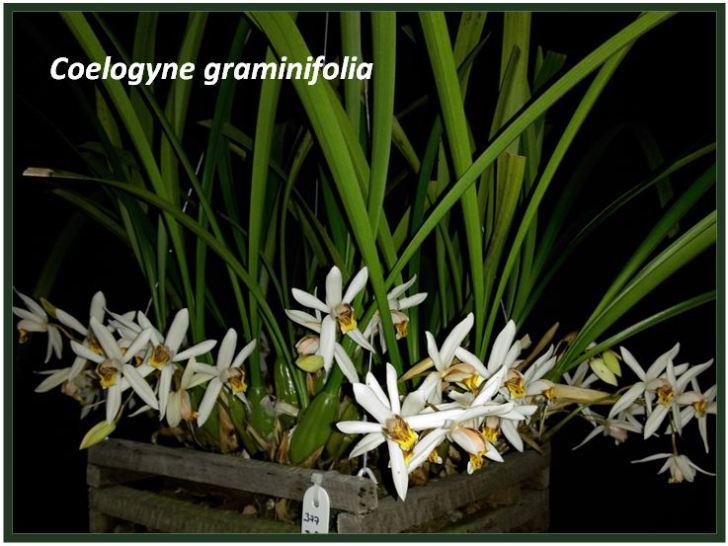 Coelogyne graminifolia - folhas JPG
