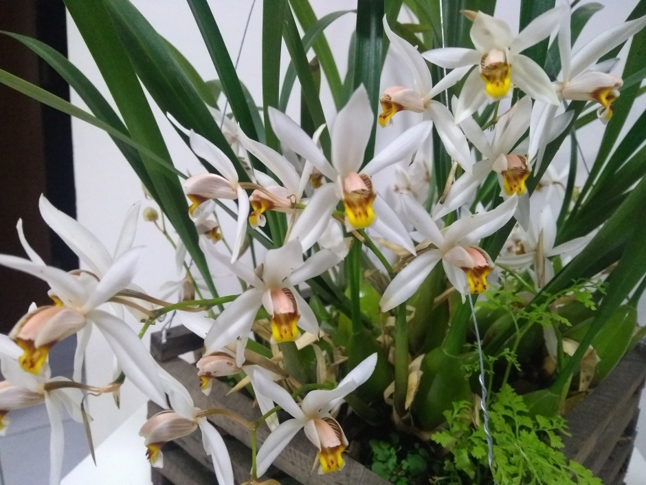 Coelogyne graminifolia - jul2018 (3)
