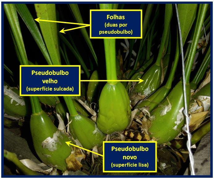 Coelogyne graminifolia - pseudobulbos JPG