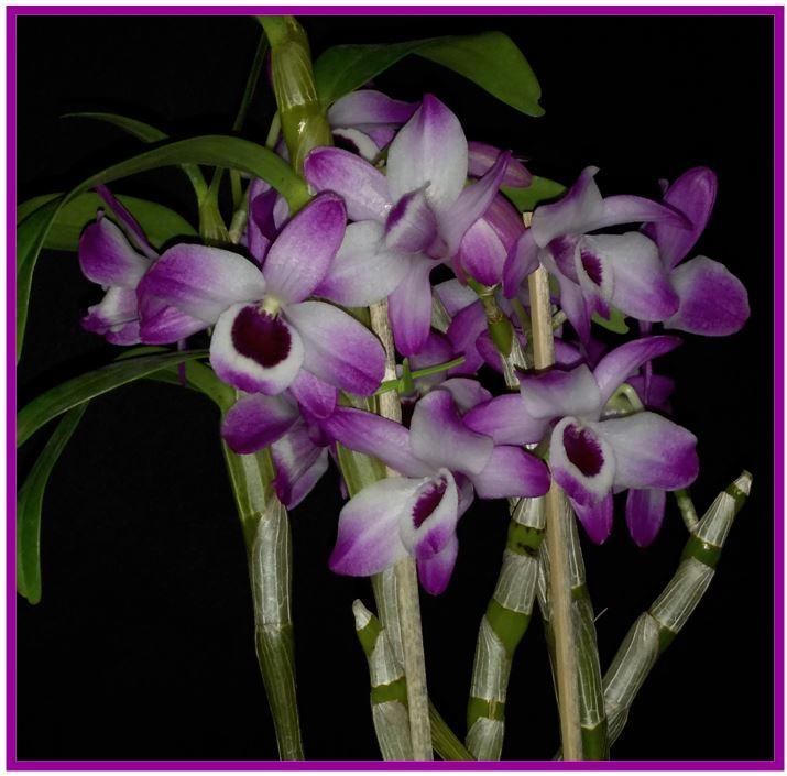 Dendrobium goldschmidtianum - Dendrobium nobile JPG