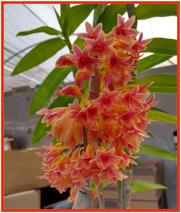 Dendrobium goldschmidtianum - Dendrobium usitae JPG
