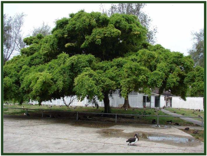 Dendrobium goldschmidtianum - Ficus JPG