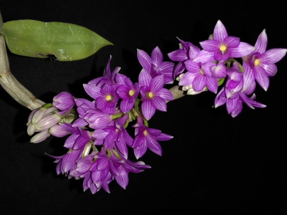 Dendrobium goldschmidtianum - jul2019 (1)