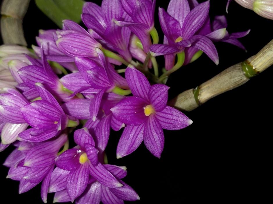 Dendrobium goldschmidtianum - jul2019 (11)